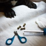 the French bulldog is on the table, ready for the nail clipping. animal care, dog manicure concept stock images