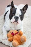 French bulldog with teddy bear Stock Image