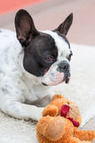 French bulldog with teddy bear. French bulldog lying down with his teddy bear Royalty Free Stock Images