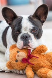French bulldog with teddy bear. French bulldog lying down with his teddy bear Stock Images