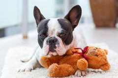 French bulldog with teddy bear stock photos