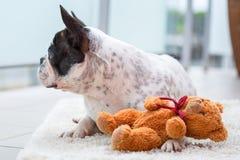French bulldog with teddy bear. French bulldog lying down with his teddy bear Royalty Free Stock Photos