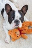 French bulldog with teddy bear. French bulldog lying down with his teddy bear Stock Photo