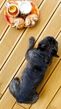 French bulldog on the terrace with tea and cookies. Top view stock photo