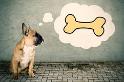 French bulldog thinks of a bone Stock Image