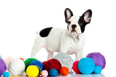 French bulldog with threadballs isolated on white background Royalty Free Stock Image