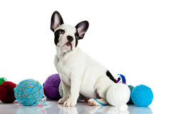 French bulldog with threadballs isolated on white background dog Stock Image