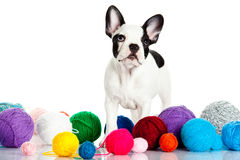 French bulldog with threadballs isolated on white background dog Stock Photo