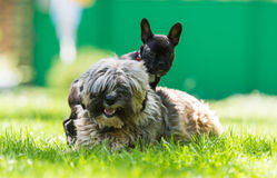 French bulldog and tibetan terier. In friendship Stock Photos