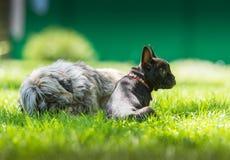 French bulldog and tibetan terier Royalty Free Stock Photo