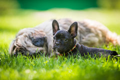French bulldog and tibetan terier. In friendship Stock Image