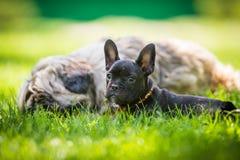 French bulldog and tibetan terier Stock Image