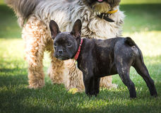 French bulldog and tibetan terrier Stock Photo