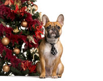 French Bulldog with a tie next to a Christmas tree Royalty Free Stock Photo