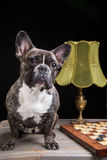 French bulldog of tiger color with checkers on black Stock Photo