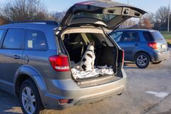 Dog in the car trunk. French bulldog traveling in the car trunk Royalty Free Stock Image