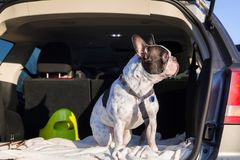 Dog in the car trunk. French bulldog traveling in the car trunk Royalty Free Stock Photos