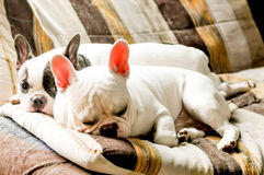 French bulldog. Two Fench bulldog dogs on the sofa Stock Image