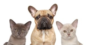 French bulldog and two kittens Stock Photography