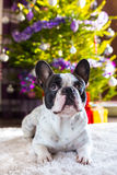 French bulldog under christmas tree Royalty Free Stock Photo