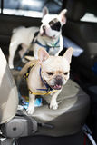 French bulldog waiting in car Stock Photos