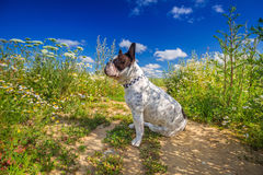 French bulldog. On the walk Royalty Free Stock Image