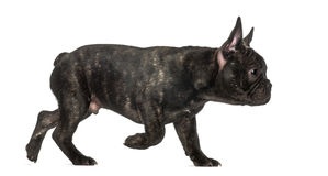 French Bulldog walking Royalty Free Stock Photo