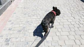 French bulldog walking down the street stock video