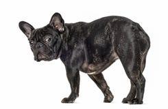 French bulldog walking and looking at the camera Royalty Free Stock Images