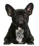 French bulldog wearing bowtie, 5 years old Royalty Free Stock Images