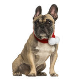 French bulldog wearing a christmas scarf, sitting, isolated Royalty Free Stock Image