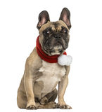 French bulldog wearing a christmas scarf, sitting, isolated Royalty Free Stock Images
