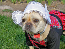 French Bulldog wearing a Dutch costume Royalty Free Stock Photography