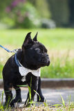 French bulldog wearing necktie Royalty Free Stock Images