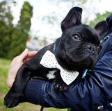 French bulldog wearing necktie Royalty Free Stock Image