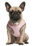 French bulldog wearing pink, 18 months old Stock Photo