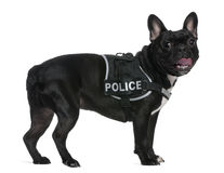 French Bulldog, wearing a police harness Stock Image