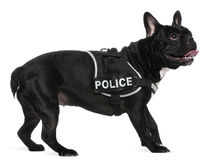 French Bulldog, wearing a police harness Stock Photos