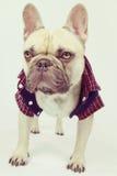 French bulldog wearing a shirt Royalty Free Stock Photography