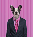 French Bulldog wearing a suit, pink background Royalty Free Stock Images