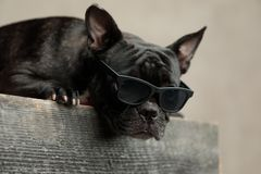 French bulldog wearing sunglasses lying down and looking ahead
