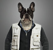 French bulldog wearing work clothes, grey background Royalty Free Stock Images