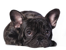 French bulldog. On a white background stock image