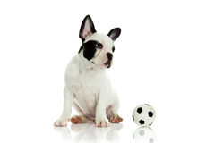 French bulldog on white background dog and ball Royalty Free Stock Images