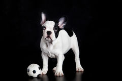 French bulldog on white background dog football soccer Stock Photo