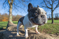 French bulldog into the wild. Wide angle Royalty Free Stock Images