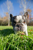 French bulldog into the wild. Wide angle Stock Photos