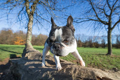French bulldog into the wild. Wide angle Royalty Free Stock Photos