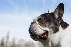 French bulldog into the wild Royalty Free Stock Images