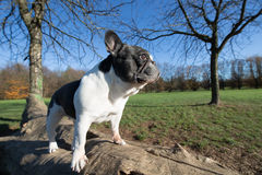 French bulldog into the wild. Wide angle Royalty Free Stock Image